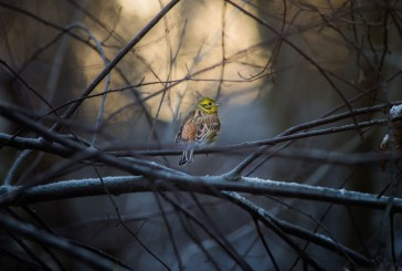 Yellowhammer Amazing Photo